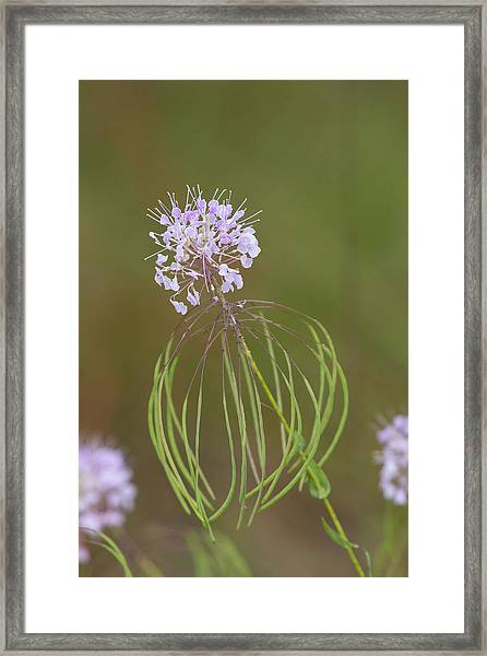 Clasping Warea Framed Print