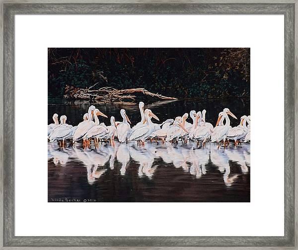 Clear Lake Pelicans Framed Print