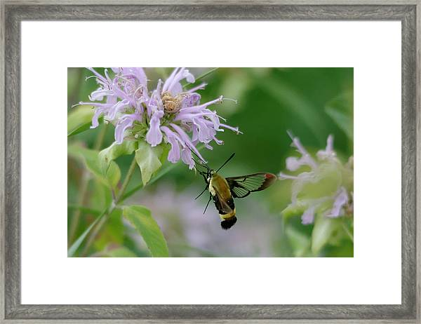 Clearwing Moth Framed Print