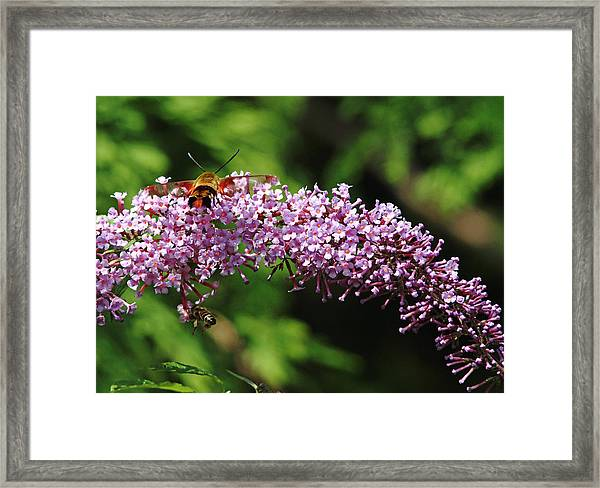 Clearwing Moth And The Bee Framed Print