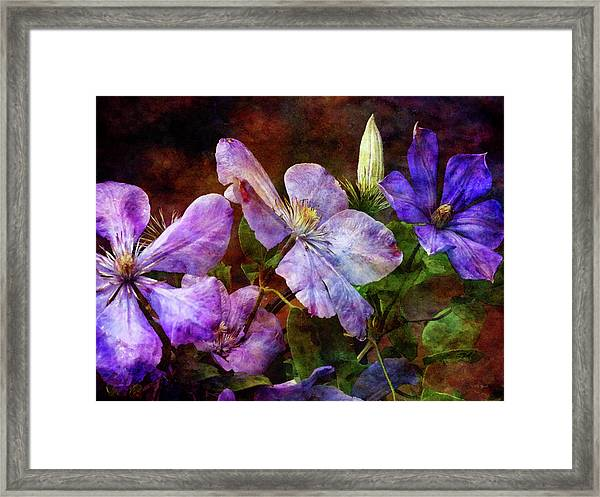 Clematis 1330 Idp_2 Framed Print
