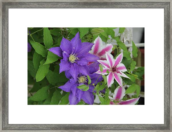 Clematis Purple And Pink White Framed Print
