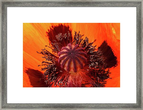 Close-up Bud Of A Red Poppy Flower Framed Print
