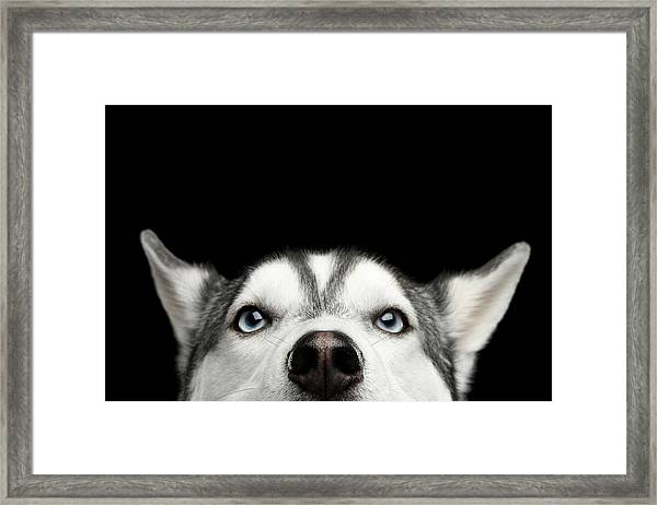 Close-up Head Of Peeking Siberian Husky Framed Print
