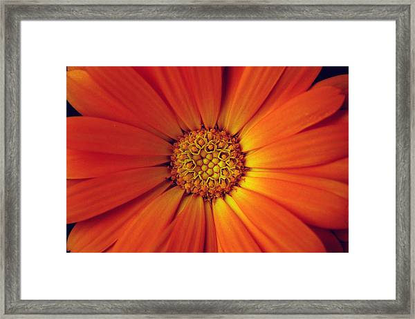 Close Up Of An Orange Daisy Framed Print by PIXELS  XPOSED Ralph A Ledergerber Photography