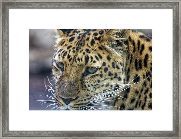 Close Up Of Leopard Framed Print