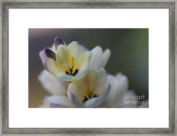 Close-up Of White Freesia Framed Print