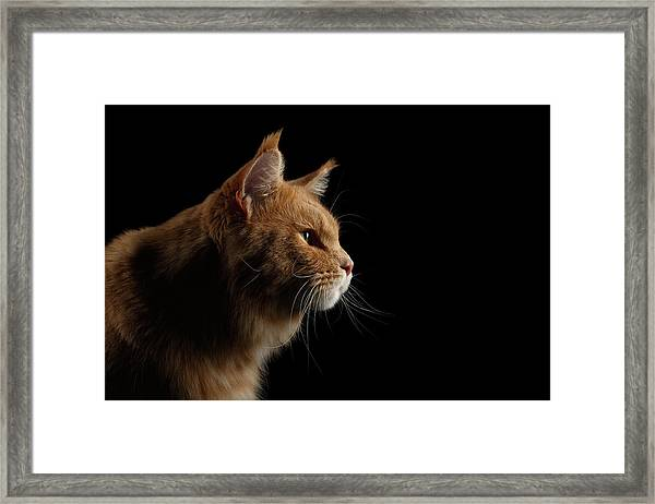 Close-up Portrait Ginger Maine Coon Cat Isolated On Black Background Framed Print