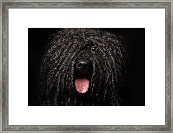 Close Up Portrait Of Puli Dog Isolated On Black Framed Print