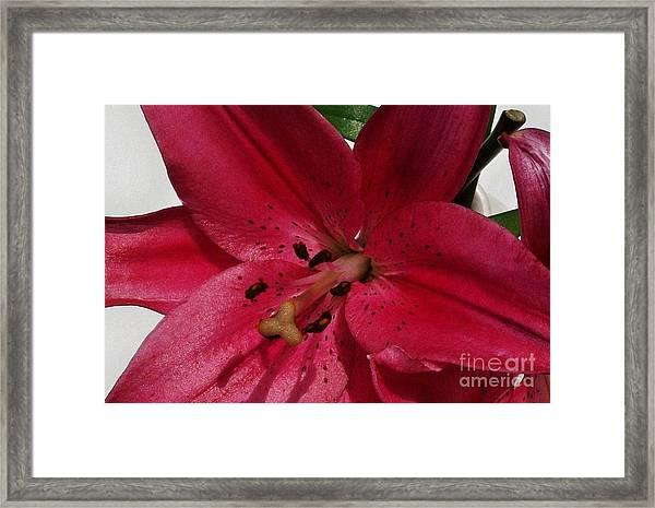 Close Up Tigerlily Framed Print by Marsha Heiken