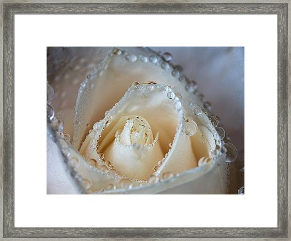 Close Up White Rose Framed Print