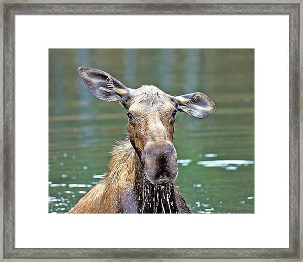 Close Wet Moose Framed Print