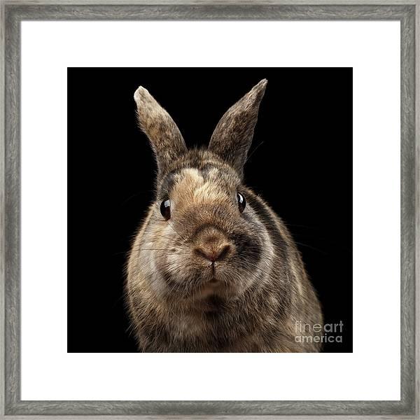 Closeup Funny Little Rabbit, Brown Fur, Isolated On Black Backgr Framed Print