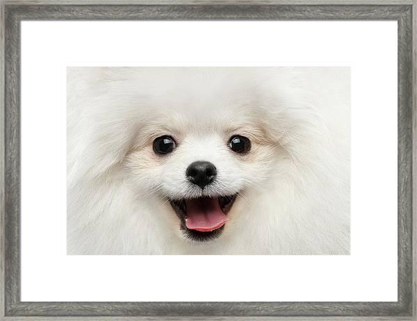 Closeup Furry Happiness White Pomeranian Spitz Dog Curious Smiling Framed Print
