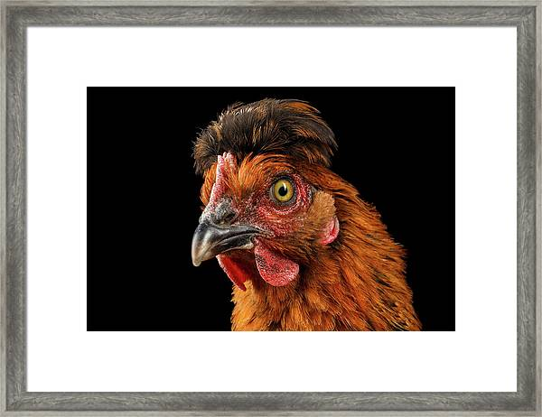 Closeup Ginger Chicken Isolated On Black Background In Profile View Framed Print
