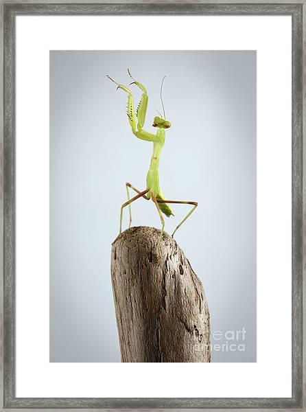 Closeup Green Praying Mantis On Stick Framed Print