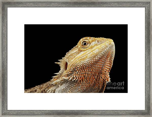 Closeup Head Of Bearded Dragon Llizard, Agama, Isolated Black Background Framed Print