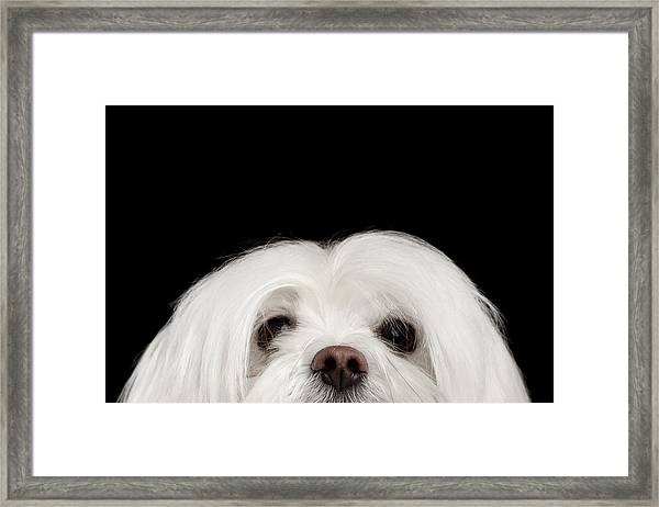 Closeup Nosey White Maltese Dog Looking In Camera Isolated On Black Background Framed Print