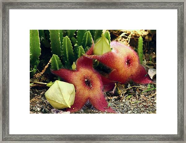 Closeup Of A Desert Starfish Framed Print