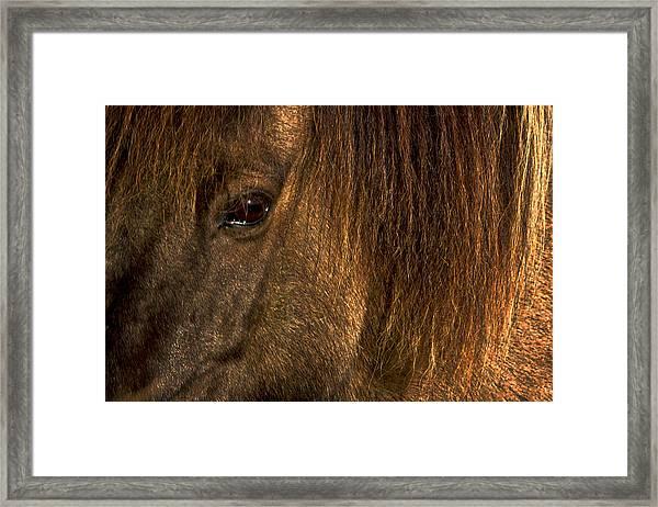 Closeup Of An Icelandic Horse #2 Framed Print