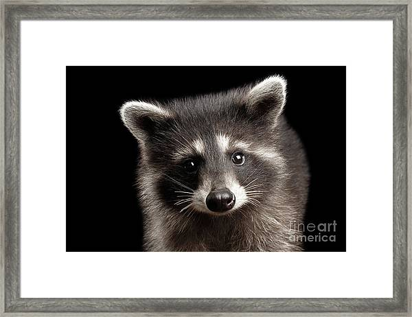 Closeup Portrait Cute Baby Raccoon Isolated On Black Background Framed Print