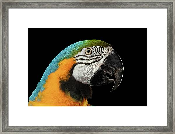 Closeup Portrait Of A Blue And Yellow Macaw Parrot Face Isolated On Black Background Framed Print