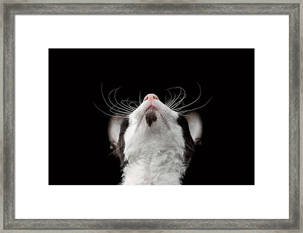 Closeup Portrait Of Cornish Rex Looking Up Isolated On Black  Framed Print