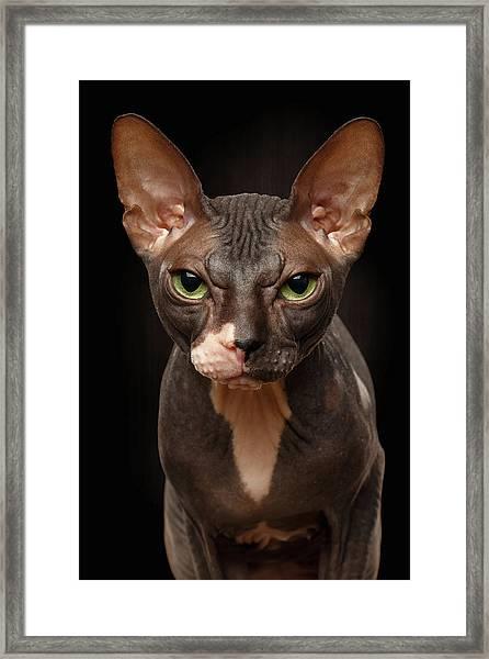 Closeup Portrait Of Grumpy Sphynx Cat Front View On Black  Framed Print