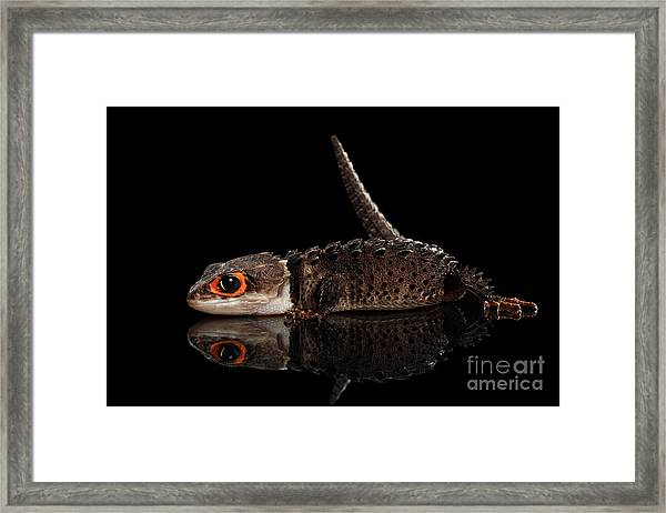 Closeup Red-eyed Crocodile Skink, Tribolonotus Gracilis, Isolated On Black Background Framed Print