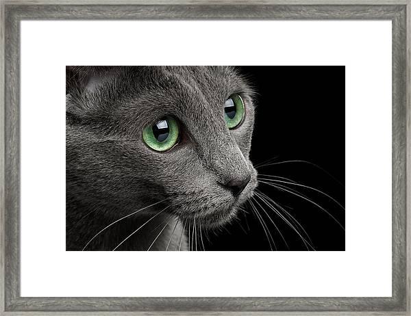 Closeup Russian Blue Framed Print
