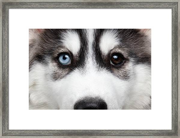 Closeup Siberian Husky Puppy Different Eyes Framed Print