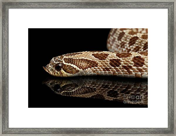 Closeup Western Hognose Snake, Isolated On Black Background Framed Print