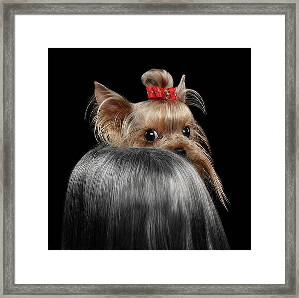 Closeup Yorkshire Terrier Dog, Long Groomed Hair Pity Looking Back Framed Print