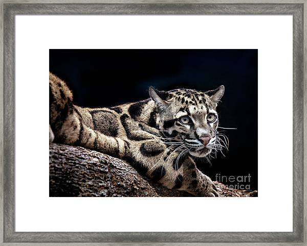 Clouded Leopard Framed Print