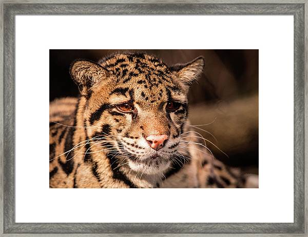 Clouded Leopard II Framed Print