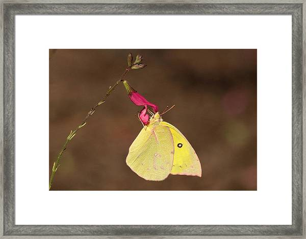 Clouded Sulphur Butterfly On Pink Wildflower Framed Print