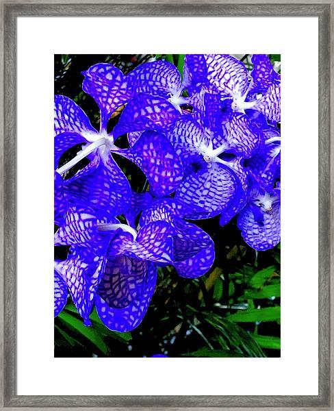 Cluster Of Electric Blue Vanda Orchids Framed Print