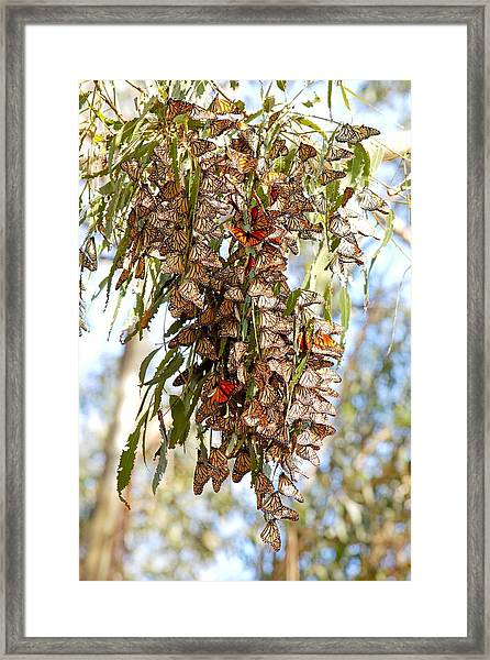 Clustered - Monarch Butterflies Framed Print