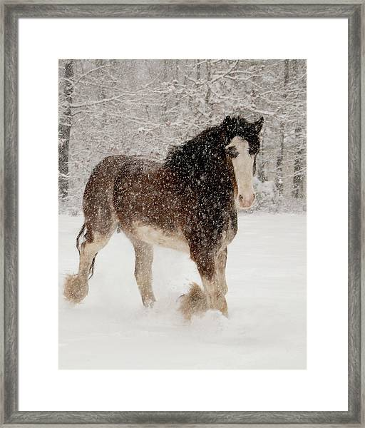 Clydesdale In The Snow Framed Print