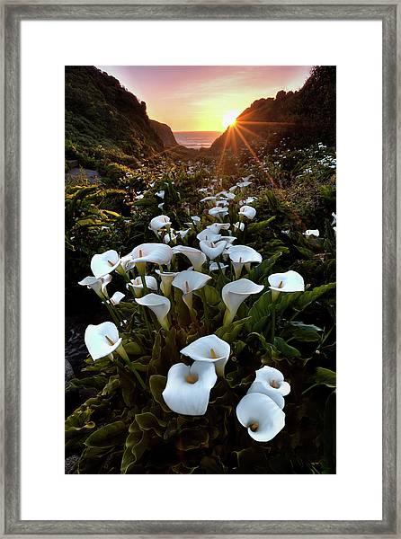 Coastal Calla Lilies Framed Print