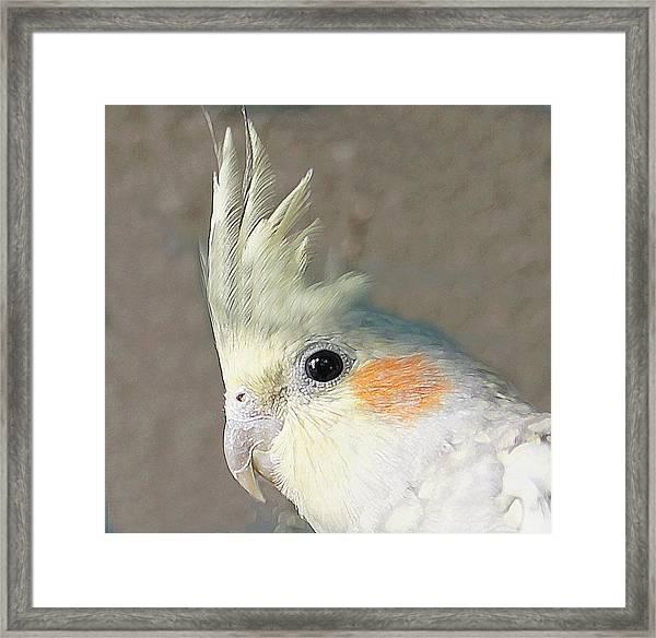 Cockateel Framed Print