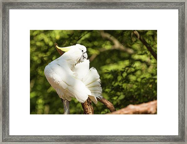 Cockatoo Preaning Framed Print