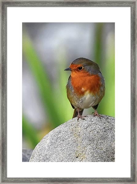 Cocky Robin Framed Print