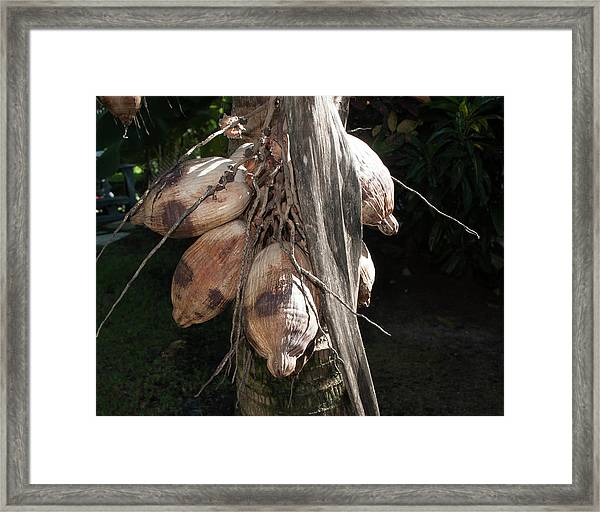 Coconut 1 Framed Print