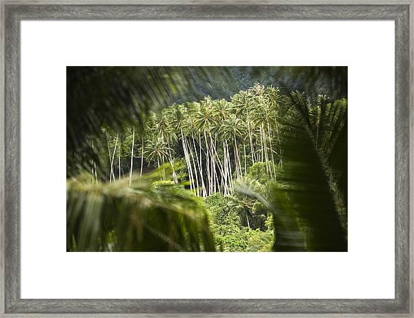Coconut Palm Trees Framed Print