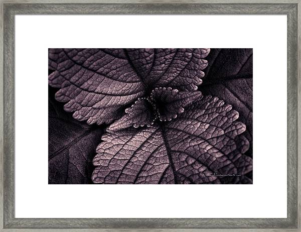 Coleus 6001 Framed Print