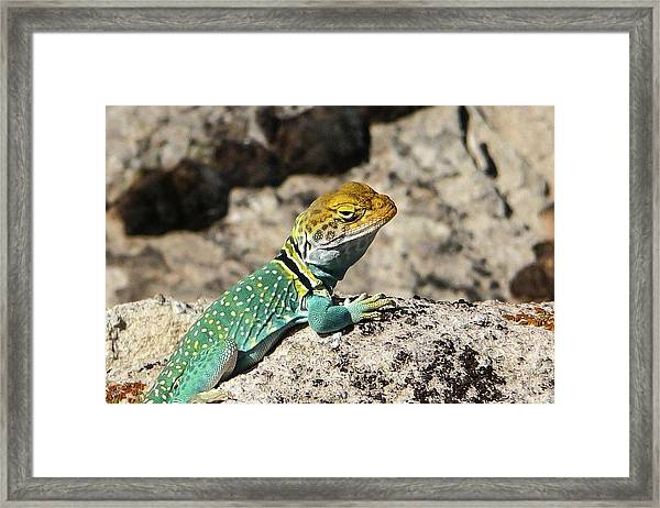 Collared Lizard Framed Print