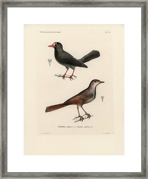 Framed Print featuring the drawing Collared Palm Thrush And Chestnut-fronted Helmetshrike by J D L Franz Wagner