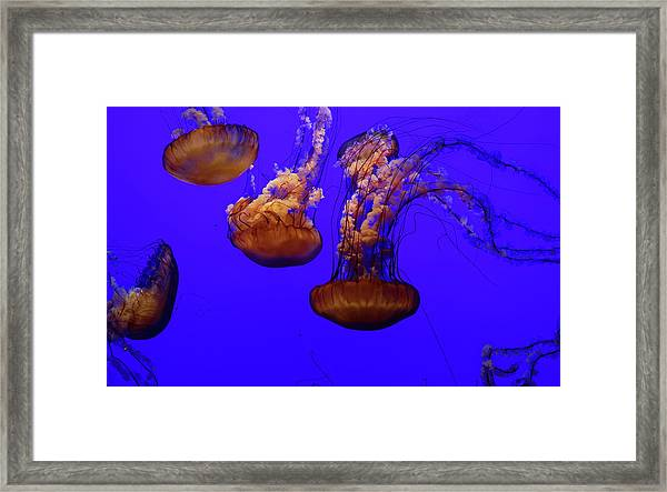Collection Of Jellyfish Framed Print