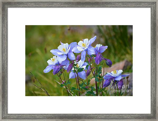 Framed Print featuring the photograph Colorado Columbines by Kate Avery